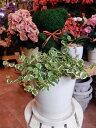 アニマルトピアリーモス♪アニマルシリーズ♪クマさん♪Mサイズ斑入りフィカスプミラを植え付けた【陶器鉢