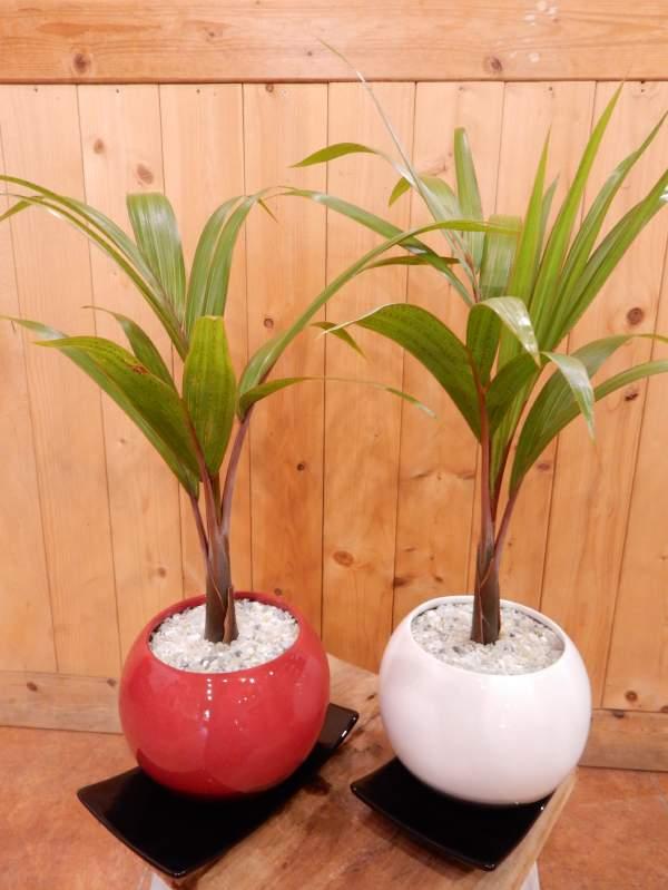 金運アップのトックリヤシ(徳利椰子・ボトルパーム)♪赤か白の陶器鉢からお選びください♪縁起の良い紅白で飾ってもいいですね♪室内の空間を和ます♪植物の自然な姿を醸し出している【楽ギフ_包装】【楽ギフ_メッセ入力】【送料無料】
