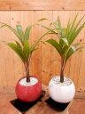 金運アップのトックリヤシ(徳利椰子・ボトルパーム)♪赤か白の陶器鉢からお選びください♪縁起の良い紅白で飾ってもいいですね♪室内の空間を和ます♪植物の自然な姿を醸...