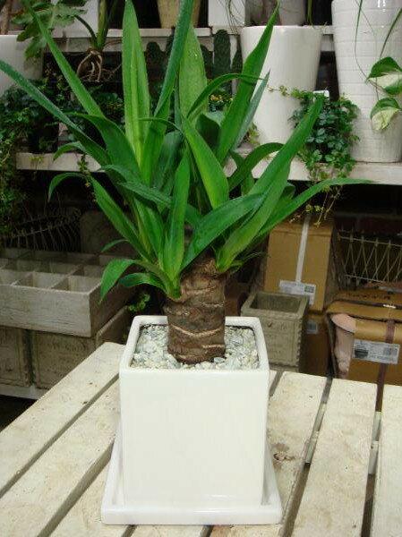 ユッカ(青年の木) インテリア陶器鉢♪スタイリッシュな観葉植物♪ミニ観葉植物 楽ギフ_包装 楽ギフ_メッセ入力 癒し空間