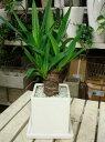ユッカ(青年の木) インテリア陶器鉢♪スタイリッシュな観葉植物♪【ミニ観葉植物】【楽ギフ_包装】【楽ギフ_メッセ入力】【癒し空間】