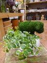 楽天癒し空間 One's Garden&Plantsアニマルトピアリーモス♪動物シリーズ♪ヒツジくん(羊)♪Sサイズ斑入りフィカスプミラを植え付けています♪陶器鉢植え・受け皿付き 場所取らずでちょこっと置くだけ♪誕生日やお祝い・プレゼントや景品にも♪
