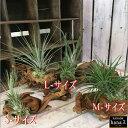 エアープランツ マングローブ流木に貼り付けてお届け♪S-サイズ M-サイズ L-サイズからお選びください当店オリジナル製作品♪インテリアグリーンに♪品種はおまかせとなります♪チランジア チランドシア エアプランツ オリジナル