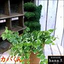 アニマルトピアリーモス♪動物シリーズ♪カバくん(かば)♪Sサイズ斑入りフィカスプミラを植え付けています♪テラコッタ陶器鉢植え 場所取らずでちょこっと置くだけ♪誕生日やお祝い・プレゼントや景品にも♪