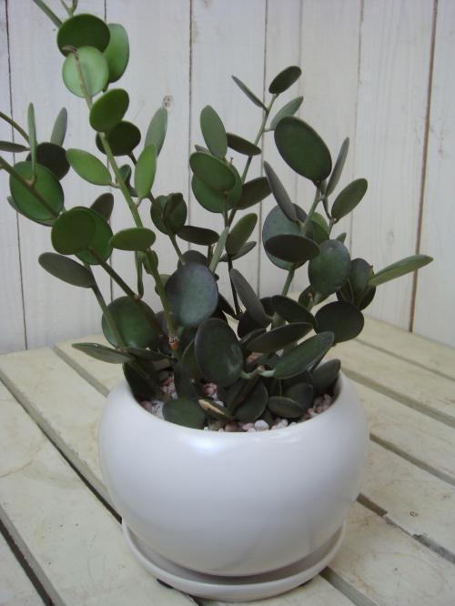 グリーンドラム(緑の太鼓)スタイリッシュな観葉植物♪ミニ観葉植物楽ギフ 包装楽ギフ メッセ入力送料無