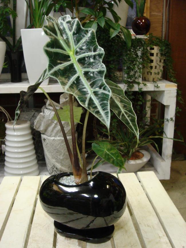 アロカシア・アマゾニカ 黒豆ビーンズ陶器鉢【ミニ観葉植物】【楽ギフ_包装】【楽ギフ_メッセ入力】