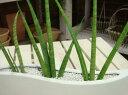 土を使わず清潔感の仕上がり【テーブルサイズ】ウエーブホワイト陶器鉢♪ちょっとしたお祝い・プレゼントなどにも♪【ミニ観葉植物】【楽ギフ_包装】【楽ギフ_メッセ入力】サンスベリア バキュラリス♪ネオコール仕様(ハイドロカルチャー)♪進化した木炭です♪【天然素材のECO】スタイリィッシュ♪