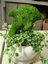 楽天癒し空間 One's Garden&Plantsアニマルトピアリーモス♪動物シリーズ♪イルカさん(ドルフィン)♪Sサイズ斑入りフィカスプミラを植え付けています♪陶器鉢植え・受け皿付き 場所取らずでちょこっと置くだけ♪誕生日やお祝い・プレゼントや景品にも♪