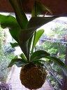 コウモリラン(ビカクシダ)苔玉仕立て 室内の空間を和ます♪植物の自然な姿を醸し出している マニア系!【送料無料】【楽ギフ_包装】【楽ギフ_メッセ入力】