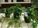 楽天癒し空間 One's Garden&Plantsシッサスシュガーバイン 3号ポット苗 3苗お買い得セット販売 自分流の室内空間に植え替えして仕上げて下さい♪アジアンチックやモダン風・トロピカル風のインテリア寄せ植えなどにも♪インテリアに人気の観葉植物
