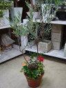 【送料無料】オリーブの木と季節のおまかせ寄せ植え仕