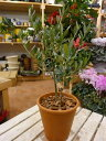 オリーブの木 2本寄せ植え Oli-me(オリーミー) (品種違いで実が付きやすい)テラコッタ陶器鉢植え仕上げ【SOUJU/創樹】【楽ギフ_包装】【楽ギフ_メッセ入力】