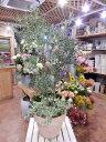 オリーブの木 品種違い2本寄せ植え Oli-me(オリーミー) アイビーを垂らしてオシャレ仕上げ♪L-サイズ テラコッタ陶器鉢 大きく育てて下さい♪【楽ギフ_包...