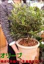 NEW商品 オリーブの木 ネバディロブランコ シンプルなアンティーク風テラコッタ陶器鉢 刈り込んで仕上げた枝ぶりの良い盆栽仕立て♪【楽ギフ_包装】【楽ギフ_メッ...