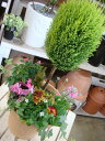 コニファーゴールドクレスト・トピアリー仕立て♪季節の寄せ植え...