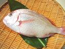 ショッピングウロコ 最高品・小鯛(花鯛) 豊洲の魚のプロが うろこ・えら・お腹を除いてパックし、氷を詰めたお箱に詰めてヤマト運輸冷蔵便でお届けします!調理前に水洗いするだけ 脂の乗りもありお刺身も楽しめます 塩焼き・鯛めし 約300g(約20cm)