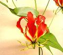 ◆グロリオサ「ミサトレッド」