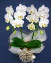 お供えのお花【お彼岸、お盆、命日、献花】胡蝶蘭アマビリス2本立ち
