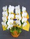 モテギ洋蘭園の胡蝶蘭スーパーアマビリス2本立ち【誕生日に最適です。】