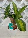 [人気の観葉植物] 幸福の木 マッサンゲアナ 4号陶器鉢入り 白色 05P05Nov16