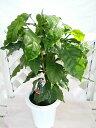 [人気の観葉植物] コーヒーの木【癒し効果】お部屋のインテリアに 珈琲