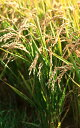 北海道産小麦100% 春よ恋 挽ぐるみ 3kg