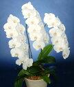 胡蝶蘭鉢 白花 3L 3本立 33