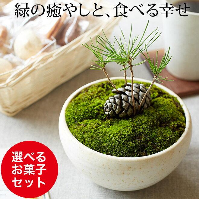 まつぼっくり 盆栽(ミニ盆栽 bonsai ボンサイ) 翠松園 撰【包装不可・のし不可 ご…...:patie:10049466