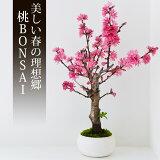 桃 盆栽(ミニ盆栽 bonsai ボンサイ) 翠松園 撰【包装不可・のし不可 ご了承ください。】/ギフト お祝い 内祝い お礼 お返し 誕生日 快気祝い【楽ギフ_