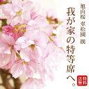 旭山桜 盆栽(桜 盆栽 bonsai ボンサイ さくら ミニ盆栽 桜盆栽 送料無料 お祝い) 翠松園 撰【母の日のお届けは開花後(葉姿)でのお届けとなります】【包装不可・のし不可 ご了承ください。】【楽ギフ_
