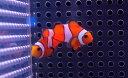 【海水魚】カクレクマノミ Sサイズ(3匹)3-5cm前後(生体)(海水魚)(サンゴ)
