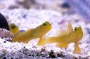 【海水魚】ギンガハゼ (1匹)4-5cm前後(生体)(海水魚)(サンゴ)