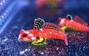 【海水魚・ネズッポ】ルビーレッドドラゴネット (1匹)±3-4cm(生体)(海水魚)(サンゴ)