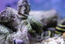 【海水魚】エメラルドグリーンクラブ (3匹)±2-3cm(生体)(海水魚)(サンゴ)