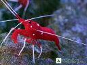 【海水魚】ホワイトソックス L~XLサイズ スリランカ産(1匹)(生体)(海水魚)(サンゴ)