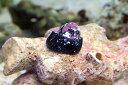 【海水魚】シッタカ (ガラス面掃除 クリーナー 貝)(5匹)(サンプル画像)(生体)(海水魚)(サンゴ)