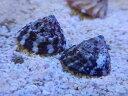 【海水魚】レッドバンデッドターボスネイル(1匹) 2-3cm前後(サンプル画像)(生体)(海水魚)(サンゴ)