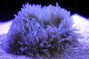 【イソギンチャク】シライトイソギンチャク(パープルチップ) (1個)(±5-10cm前後)(生体)(海水魚)(サンゴ)