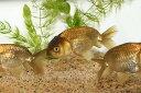 【新入荷】【金魚】黒ランチュウ(埼玉/志村)二歳 1匹