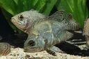 【新入荷】【熱帯魚】ワイルドオスカー(リオネグロ)(SM) 1匹