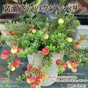 ■良品花壇苗■廣瀬さんのクランベリー(ツルコケモモ)4号鉢