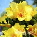 ■秋植え球根■八重咲きフリージア黄色10球入り