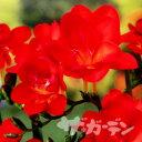 ■秋植え球根■八重咲きフリージア赤10球入り