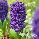 ■秋植え球根■ヒヤシンスピーターストイベサント(紫)1球(バラ球)
