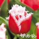 ■【ご予約商品ご予約区分A】■秋植え球根■2017年最新品種 チューリップニューサンタフリンジ咲き5球入り