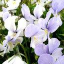■イギリス BLOOMSの宿根草芳香性宿根ビオラサラ10.5cmポット