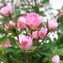 ■ミニバラ■四季咲きガーデンローズワンダーファイブ極小輪ばら...