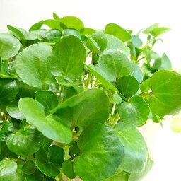 ■香りのハーブ苗■クレソン10.5cmポット苗
