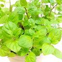 ■香りのハーブ苗■スペアミント 10.5cmポット苗