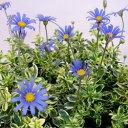 ■新鮮花壇苗■斑入りブルーデージー10.5cmポット
